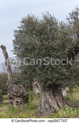 Olivenbäume - csp35677337
