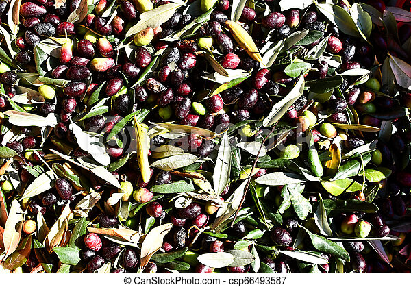 olives on branch, digital photo picture as a background - csp66493587