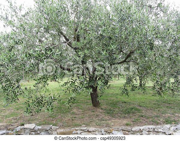 Olivier, italie, jardin, toscane photo de stock - Rechercher images ...