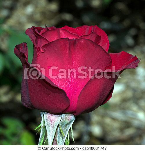 Olympiad Red Rose Profile Olympiad Variety Red Rose Flower Profile