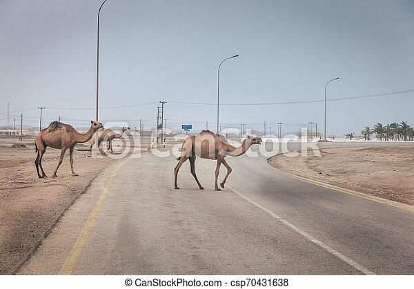 Camellos en la carretera en Oman - csp70431638