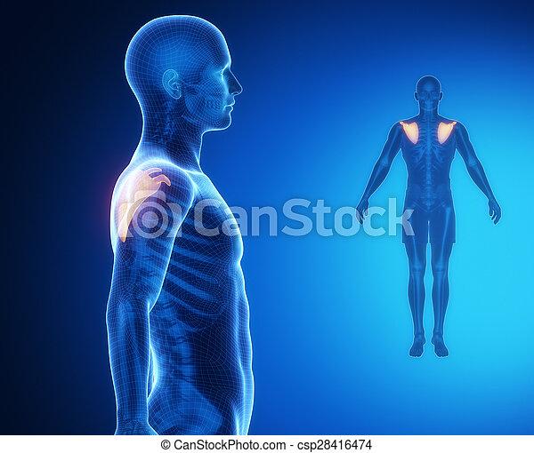 omoplate, anatomie, os, rayon x, balayage - csp28416474