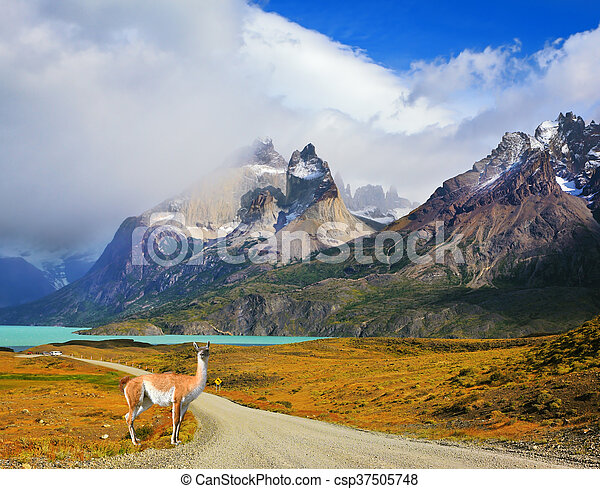On a dirt road is worth guanaco - Lama - csp37505748