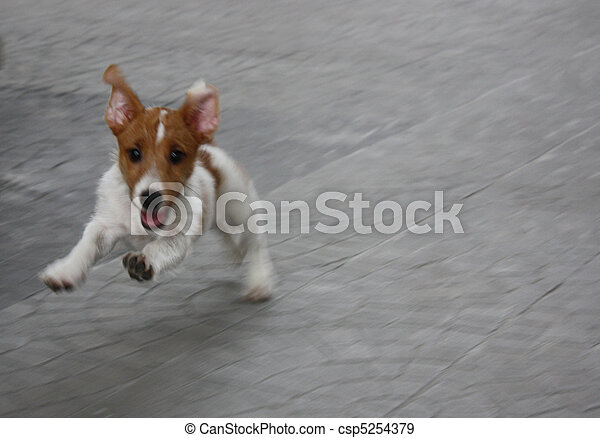 Jack Russel Terrier Puppy On The Run Space Provided For Ads