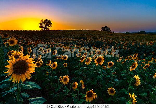 ondergaande zon , zonnebloemen, backlit - csp18040452