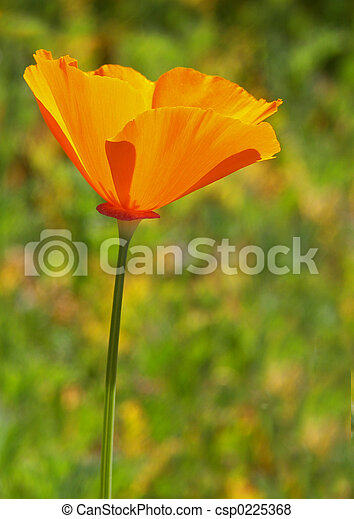 One California Poppy - csp0225368
