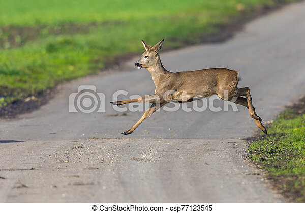 one capreolus roe deer jumping over street in sunlight - csp77123545