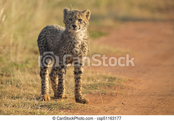 One Cheetah cub playing early morning in a road - csp51163177