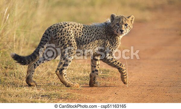 One Cheetah cub playing early morning in a road - csp51163165