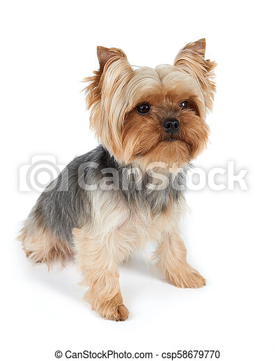 One Dog With Haircut One Yorkshire Terrier With Haircut Isolated On