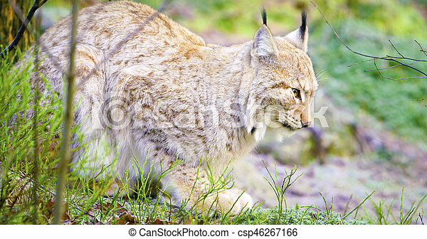 One european lynx cat lies in the forest at early winter - csp46267166