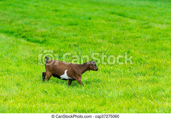 one goatling eating of green grass at farm - csp37275060