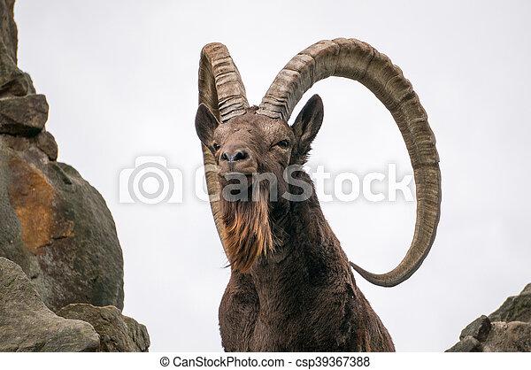 One great Siberian ibex - csp39367388
