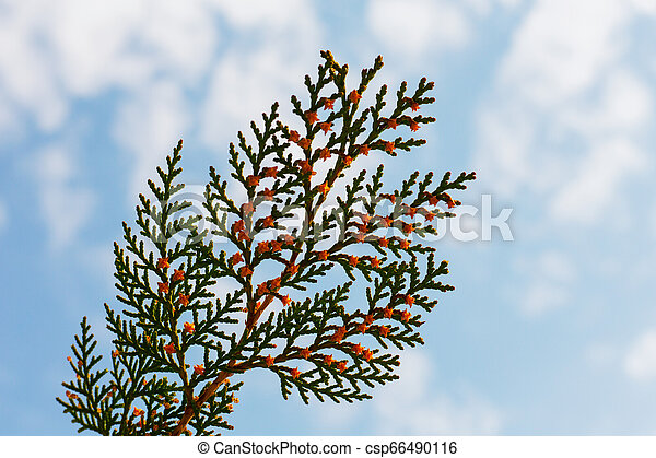 one green branch - csp66490116