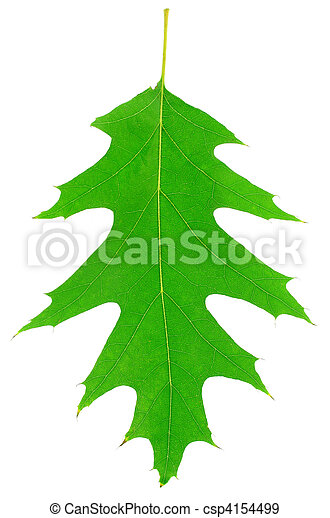one green oak leaf is texture of plant - csp4154499