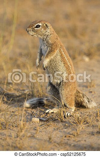 One Ground Squirrel looking for food in dry Kalahari sand - csp52125675