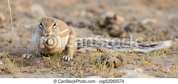 One Ground Squirrel looking for food in dry Kalahari sand - csp52265574