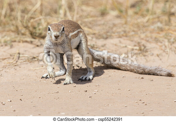 One Ground Squirrel looking for food in dry Kalahari sand - csp55242391