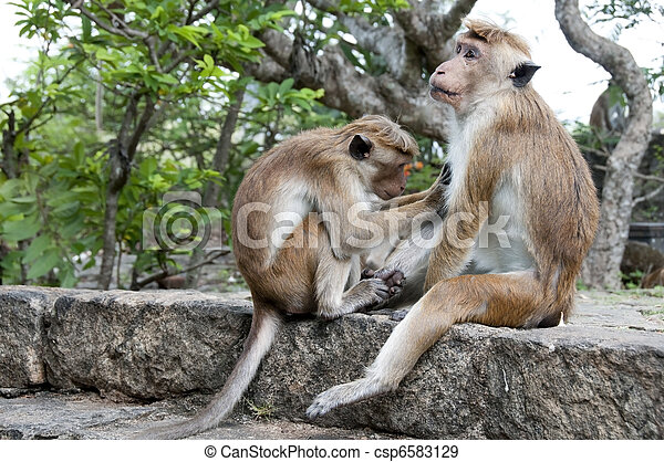 One Monkey Cleaning Another - csp6583129