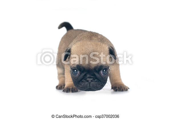 One month pug puppy