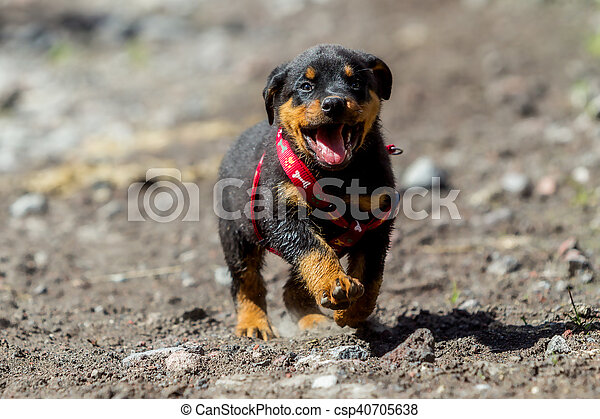 One Month Puppy Rottweiler Running In Nature
