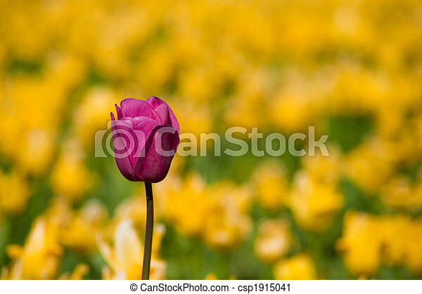 One purple tulip in a row of yellow tulips - csp1915041