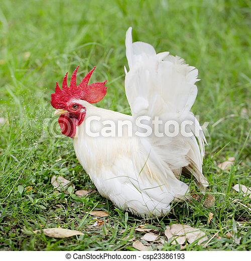 One white rooster - csp23386193