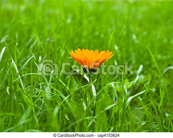 one yellow flower in green grass - csp4153624