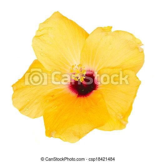 one yellow hibiscus flower - csp18421484
