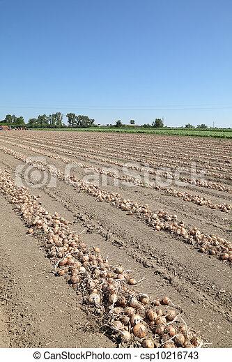 Onion field - csp10216743