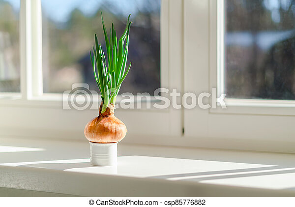 Onion growing on a window sill at home. Organic home grown vegetable in a pot - csp85776882