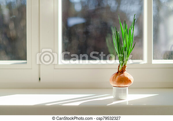 Onion growing on a window sill at home. Organic home grown vegetable in a pot - csp79532327