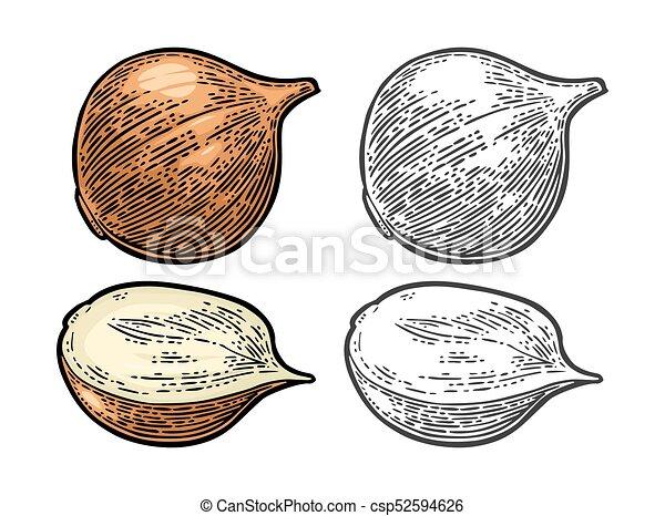 onion., vendemmia, isolato, illustrazione, vettore, nero, intero, fondo, mezzo, bianco, inciso - csp52594626