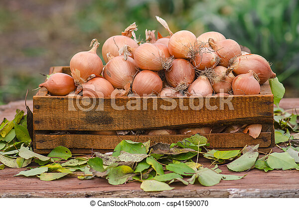 Onions in a box - csp41590070