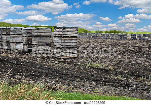 onions in crates in muck field - csp22296299