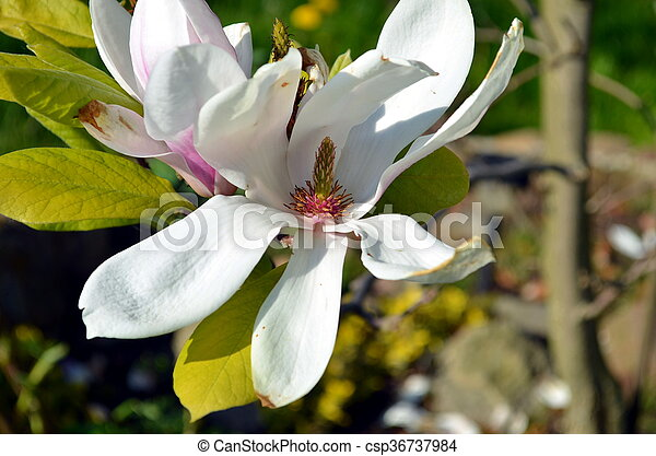 Open Bud Of A White Magnolia Flower In Nature