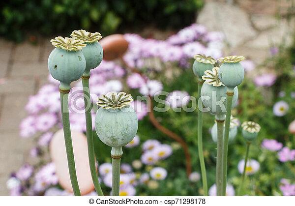 Opium poppy capsules in a garden - csp71298178