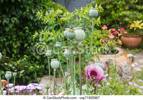 Opium poppy capsules in a garden - csp71925967