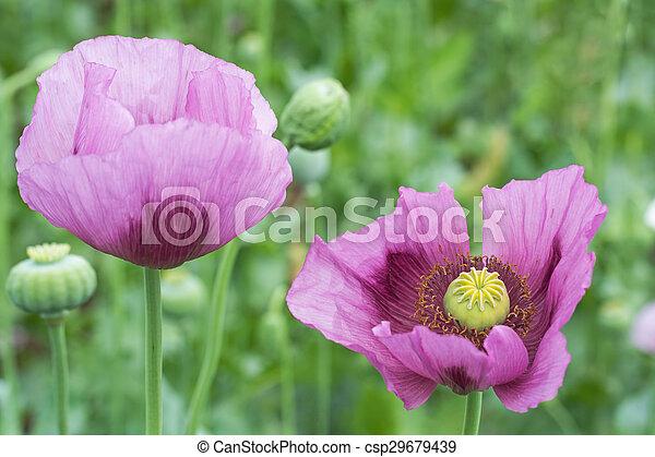 Opium poppy flower closeup close up of opium poppy papaver opium poppy flower closeup csp29679439 mightylinksfo