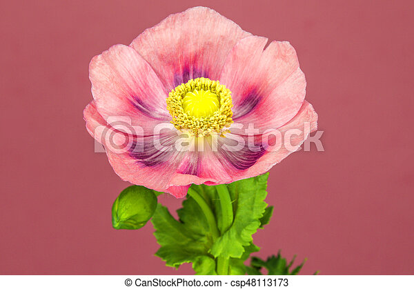 Opium poppy flower picture search photo clipart csp48113173 opium poppy flower csp48113173 mightylinksfo