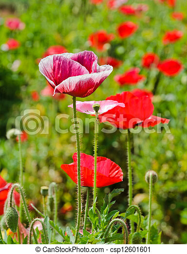 Opium poppy flower in field stock photography search pictures and opium poppy flower csp12601601 mightylinksfo Choice Image