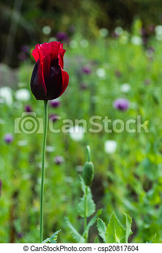 Opium poppy flowers opium poppy flowers csp20817604 mightylinksfo