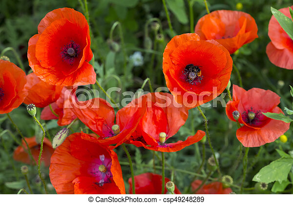 opium poppy papaver somniferum flower field of corn poppy flowers