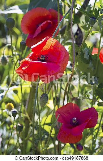 Opium poppy papaver somniferum flower on green natural background opium poppy papaver somniferum flower csp49187868 mightylinksfo
