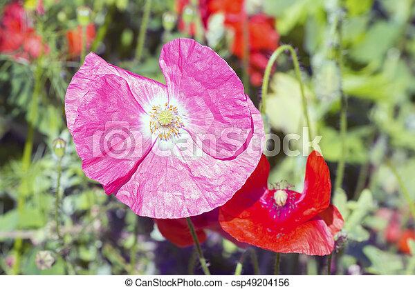 Opium poppy papaver somniferum flower opium pink poppy stock opium poppy papaver somniferum flower csp49204156 mightylinksfo