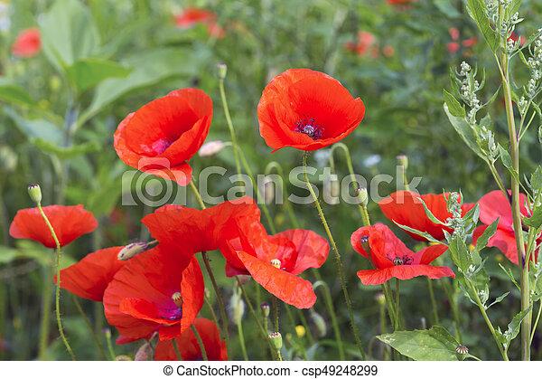 Opium poppy papaver somniferum flower field of corn poppy flowers opium poppy papaver somniferum flower csp49248299 mightylinksfo