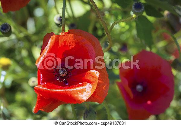 Opium poppy papaver somniferum flower on green natural background opium poppy papaver somniferum flower csp49187831 mightylinksfo