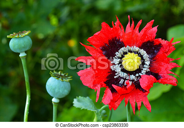Opium poppy papaver somniferum opium poppy flower beside stock opium poppy papaver somniferum csp23863330 mightylinksfo Gallery