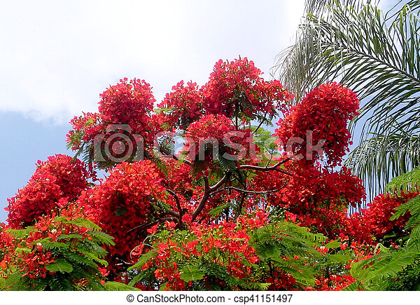 Or Yehuda Red Acacia 2005 Red Acacia Blossom In Or Yehuda Israel