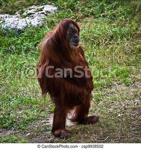 Debout Legs Adulte F 233 Minin Orang Outan Biche